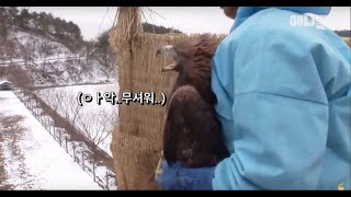 Golden Eagle Lost Wild Instincts After Being Shot By A Human, But..!