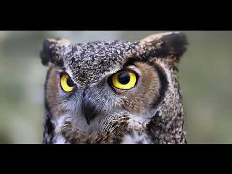 Вопрос: За счет чего совы летают безшумно?