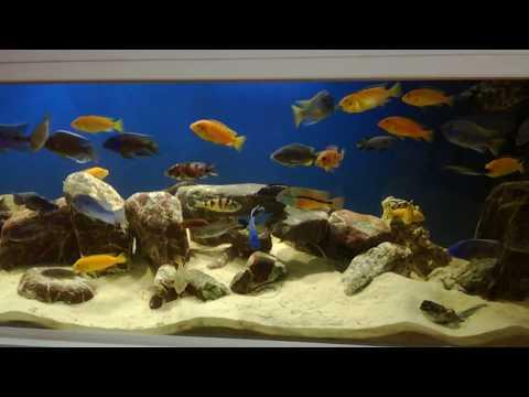 Malavi akvaryumu klasik müzik eşliğinde 70 tur balık