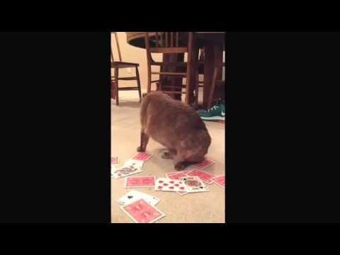 Burmese cat Pi plays cards