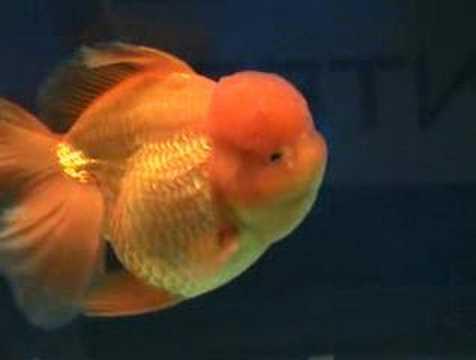 Goldfish at aquarama youtube for Fish for gold