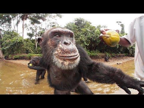 Chimpanzees 360º | Liberia, Africa—VR video