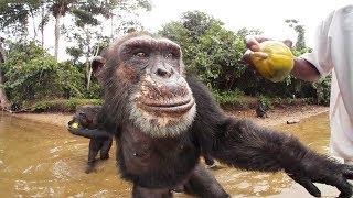 Chimpanzees 360º   Liberia, Africa—VR video