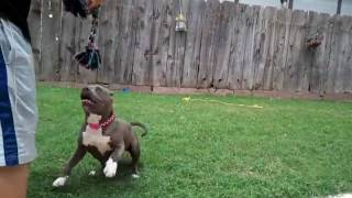 Razors edge female 5 months..... she is gonna stay short and wide.....