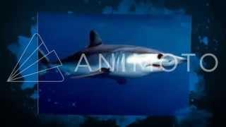 Акула Мако против Синяя акула
