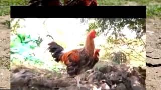 Repeat youtube video TUKAAN Breeder of the week