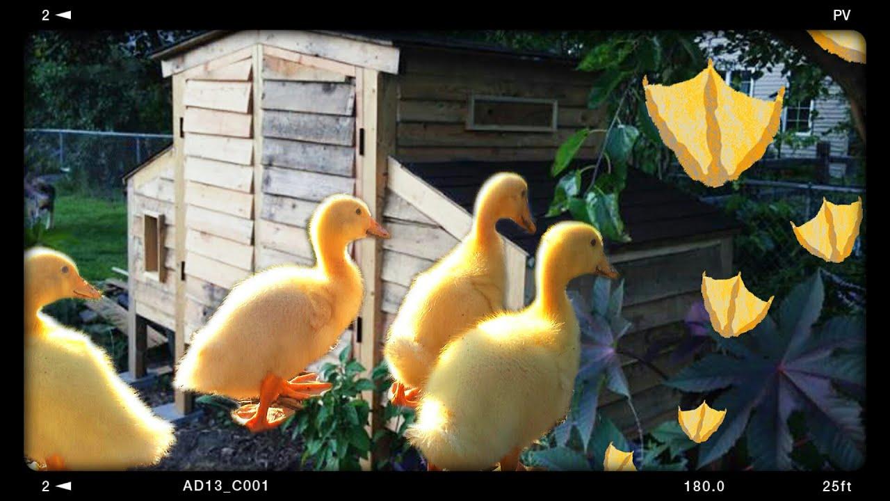 Jumbo pekin garden ducks youtube jumbo pekin garden ducks nvjuhfo Image collections