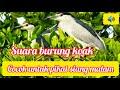 Suara Burung Koak Gowak Cocok Buat Pikat Dan Nyanggong  Mp3 - Mp4 Download