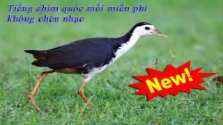 Tiếng chim quốc mồi chuẩn miễn phí không chèn nhạc (Mới nhất)