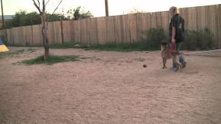 Phendi Obedience Fun- Sublime Canine Tucson Dog Training