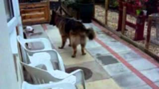 Staffy Bull Terrier Vs German Shepherd Alsatian