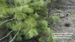 Изюминка вашего сада. Питомник растений.(Изюминка вашего сада. Питомник растений. http://izjuminka.zp.ua/, 2013-02-19T14:32:24.000Z)