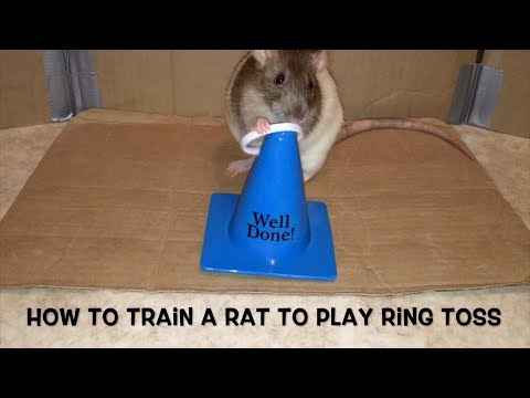 How to Train a Rat to Play Ring Toss - Audio Trick Tutorial