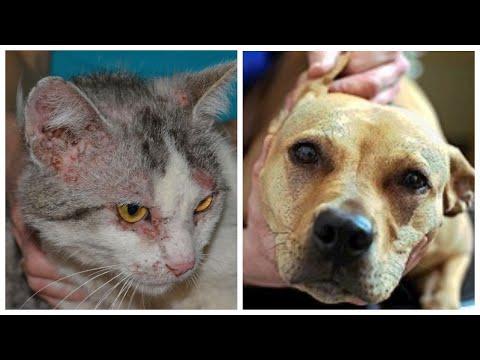 Блошиный дерматит причина расчесов у кошек и собак