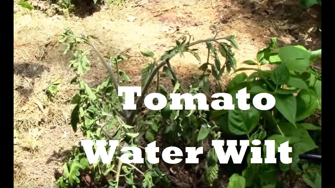 What Water Wilt in Tomatoes Looks Like! Yikes