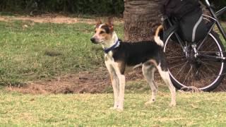 Sacrifican dos perros en Salto ante peligro de transmitir leishmaniasis