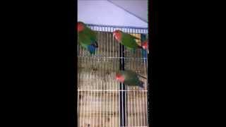 My Agapornis like singing (Lovebirds sound)