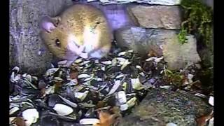 Wood Mouse Wash - 22.03.15