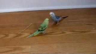 Budgies meet