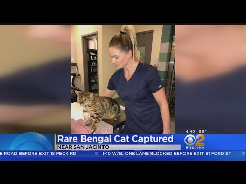 Rare Bengal Cat Found In Riverside County
