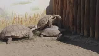 Спаривание. Как это делают черепахи.
