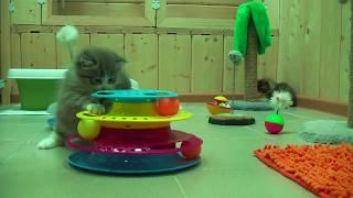 Забавный котенок сибирской породы