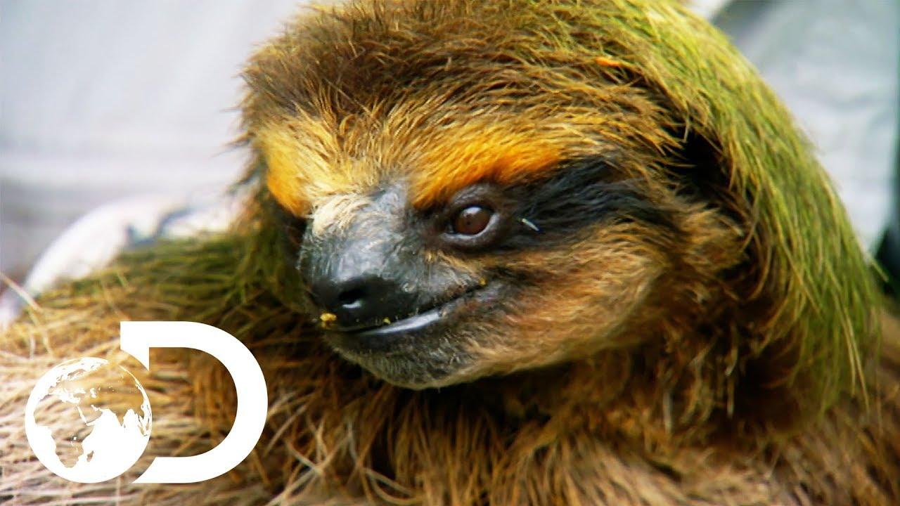 PYGMY SLOTH | Nick Baker's Weird Creatures
