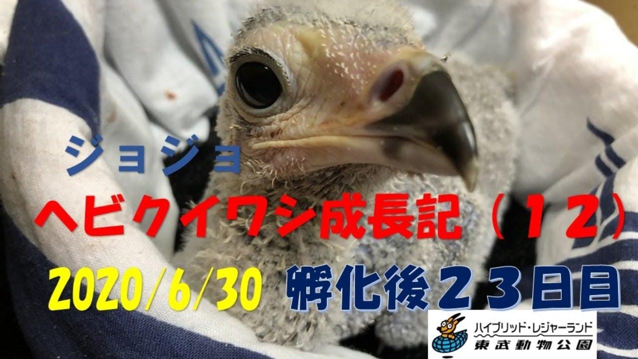 (LIVE) ヘビクイワシ 成長日記 2020/6/30 東武動物公園   Secretary bird artificial brooding