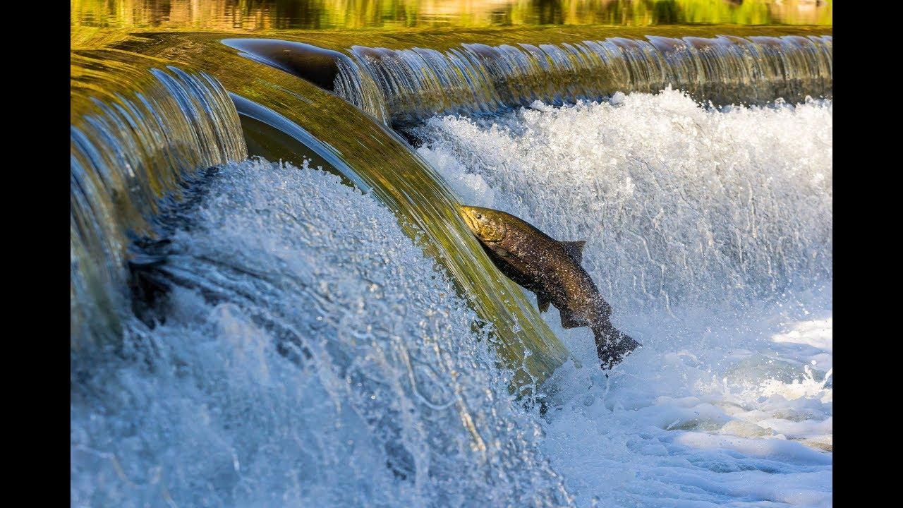 Salmon Documentary • DOCUMENTARY • National Geographic