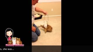 Diy Pomeranian Harness For Mobility