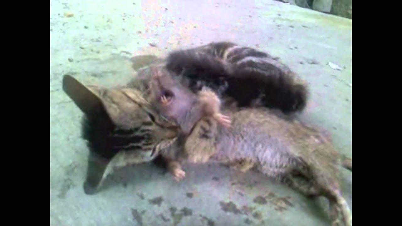 cat slaughter rat what cats should do youtube. Black Bedroom Furniture Sets. Home Design Ideas