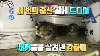세 번의 출산 끝에 새끼를 살린 길고양이 감귤이