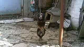 Видео прикол, собака танцует лезгинку