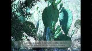 Building A Fence With Nopales Cactus
