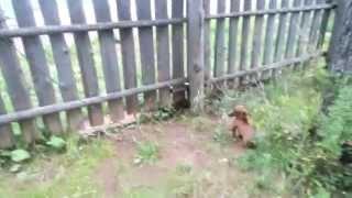 Бои животных/Тишa.VS.Гоша
