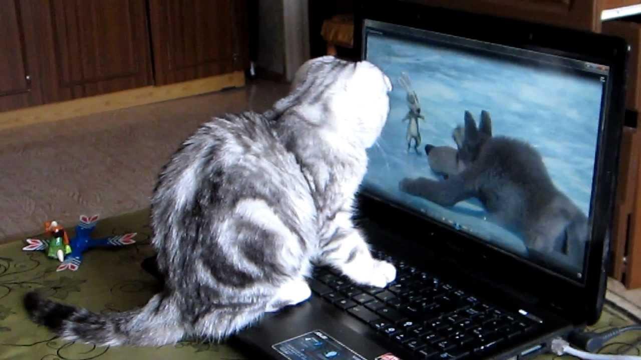мраморный шотландский вислоухий кот фото