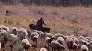 Montana Sheep Drive - America