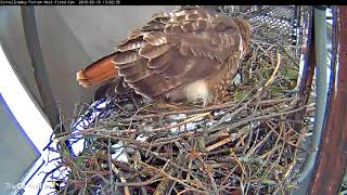 Big Red Lays First Egg Of 2018 On Red-tailed Hawk Cam!!! – (Fixed cam view) – Mar 16, 2018 thumbnail