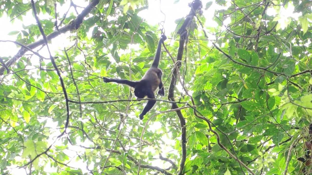 monkey hanging from a vine youtube