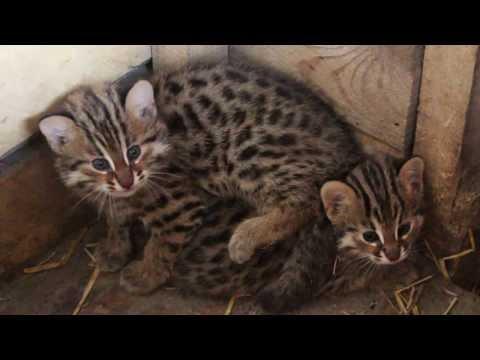 Дальневосточного лесного кота фото