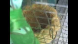 Cria de paraguayito garganta cafe(sporophila ruficollis) en cautiverio