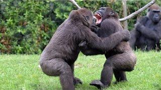 Дикие животные играют, дерутся / одни из крупнейших африканских животных.