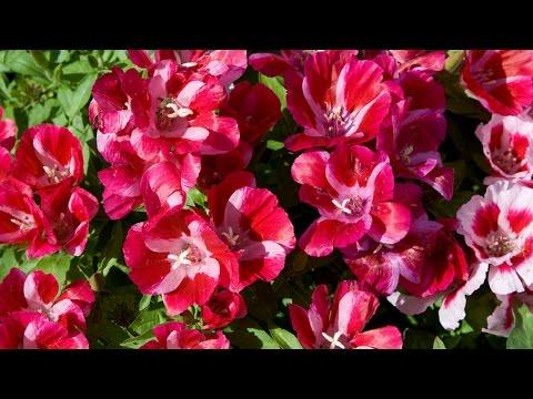 Годеция (лат. Godetia). Цветы годеция