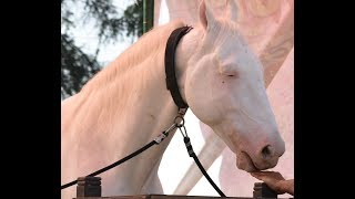 WHITE HORSE FROM PUNJAB NUKRA PRICE RS 50 LACS