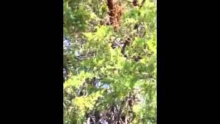 Cornwall Swarm In Tree