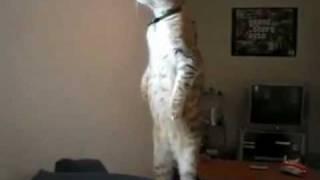 Standing Dramatics: Standing Cat (in boots) vs. Dramatic Prairie Dog thumbnail