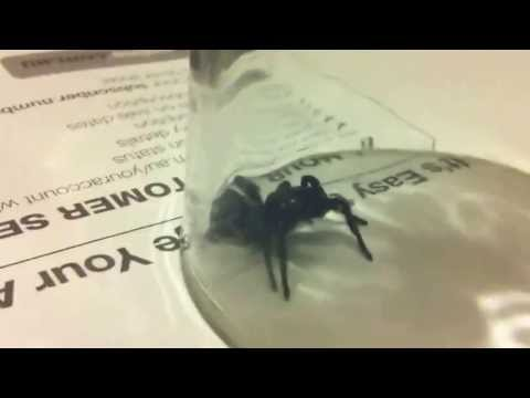 Sydney Funnel Web Spider IN MY ROOM!