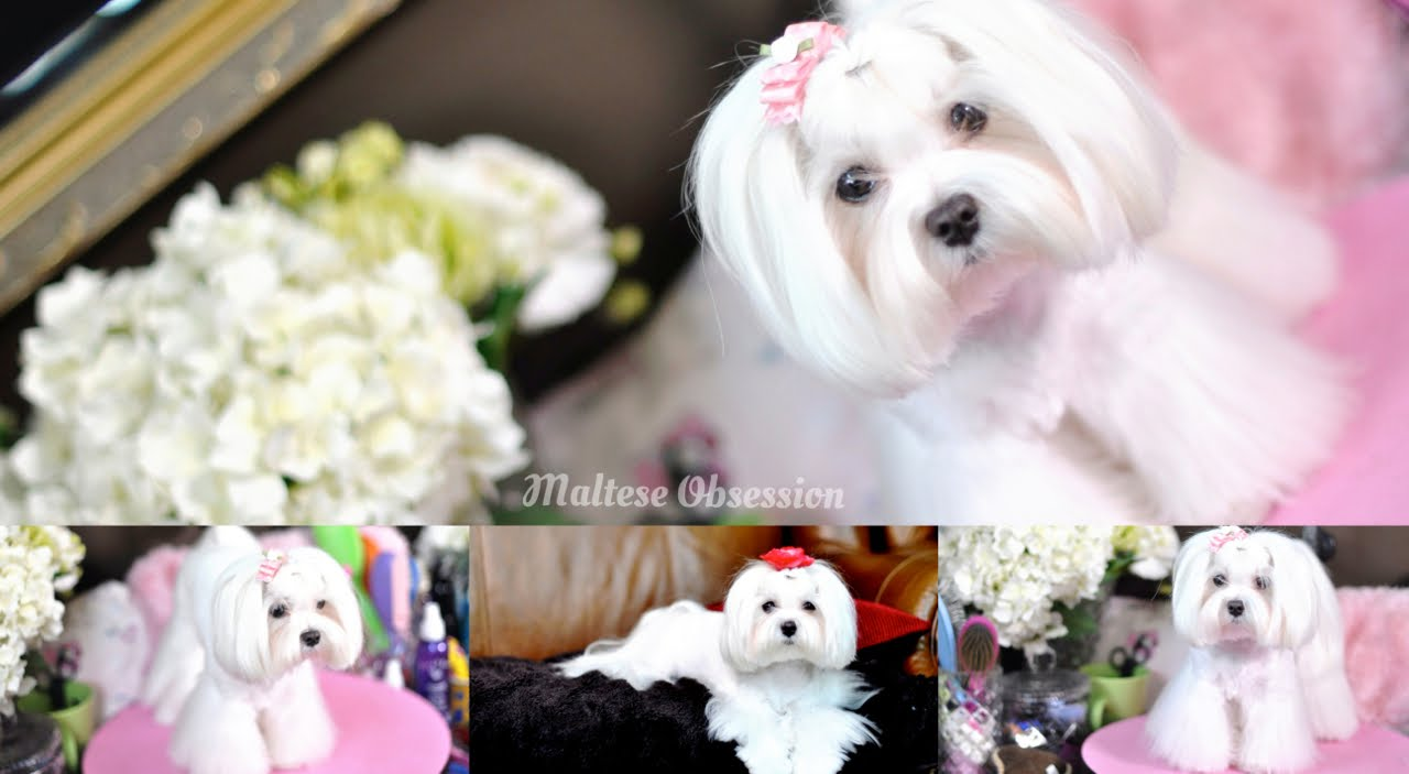 Grooming Maltese Bear Face Trim And Summer Cut Polar