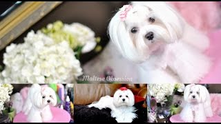 Grooming:  Maltese Bear Face Trim And Summer Cut - Polar Bear Face Trim, Body Cut Part 2 Tutorial