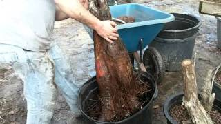 Collecting Bald Cypress for bonsai Part ...